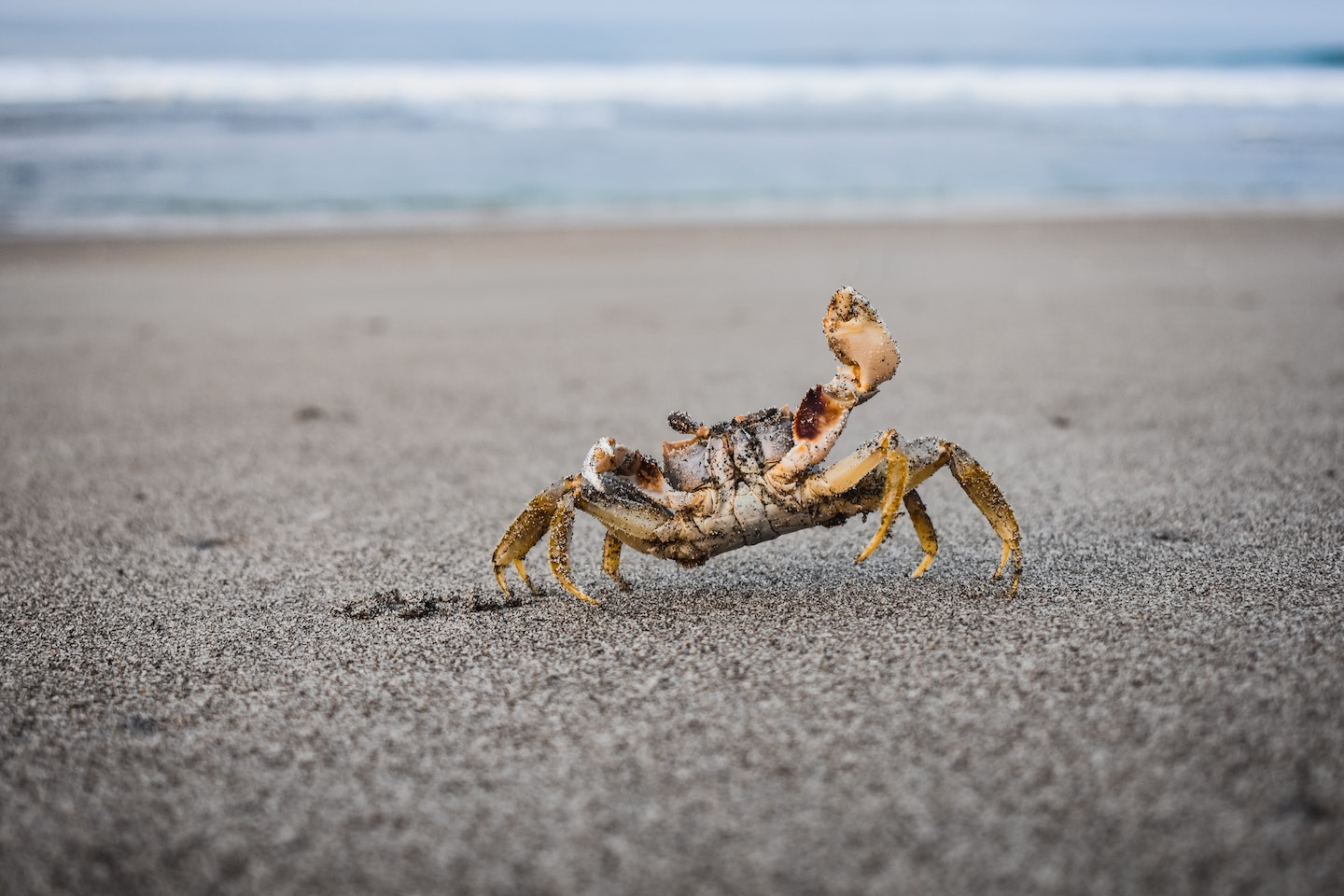 A crab standing in wet, packed sand, waving as the tide gently laps the shore behind him